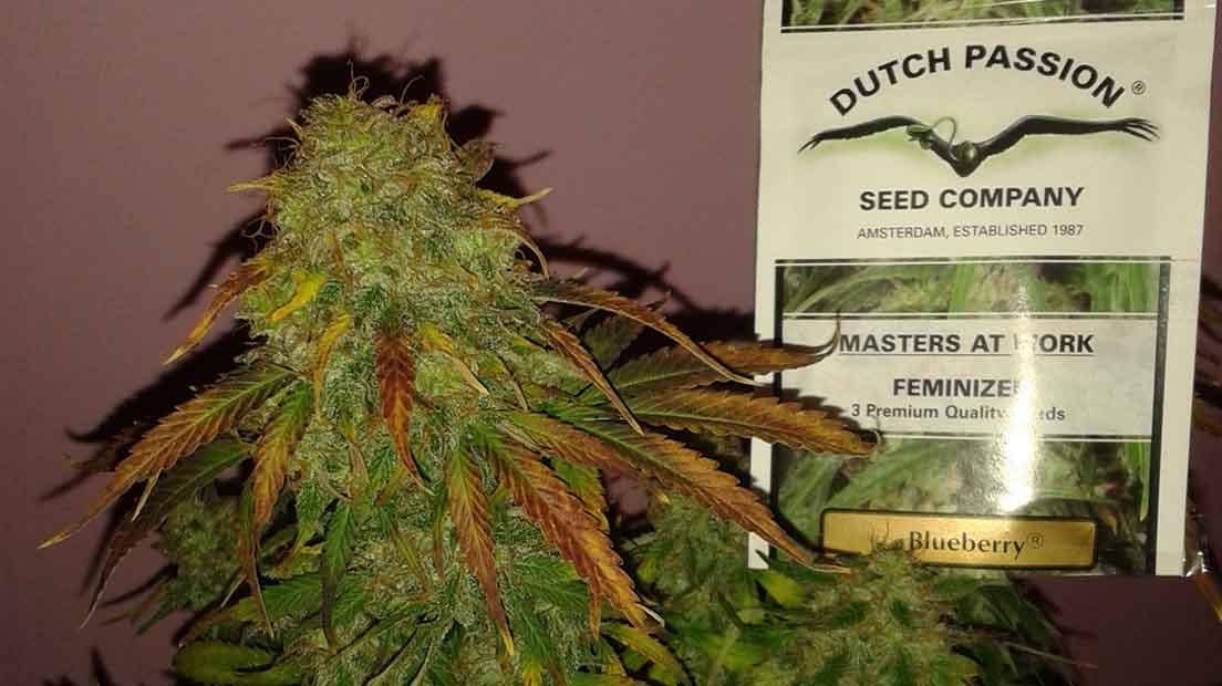 La Blueberry es una marihuana dulce con efectos potentes.