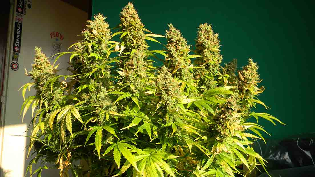 La Euforia es una variedad estimulante de marihuana de Dutch Passion