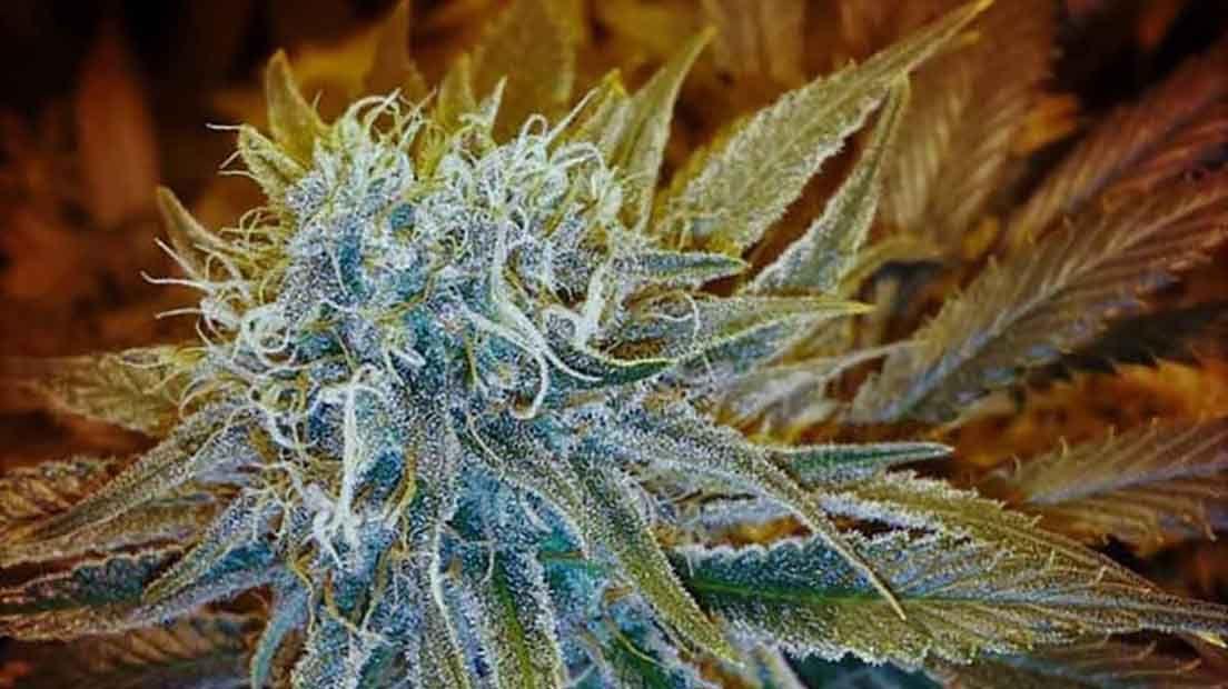 La G13 Haze es la variedad más Sativa de Barney's Farm.