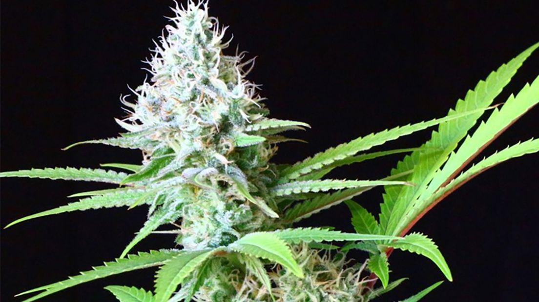 La marihuana LSD es una variedad con efectos psicodélicos.