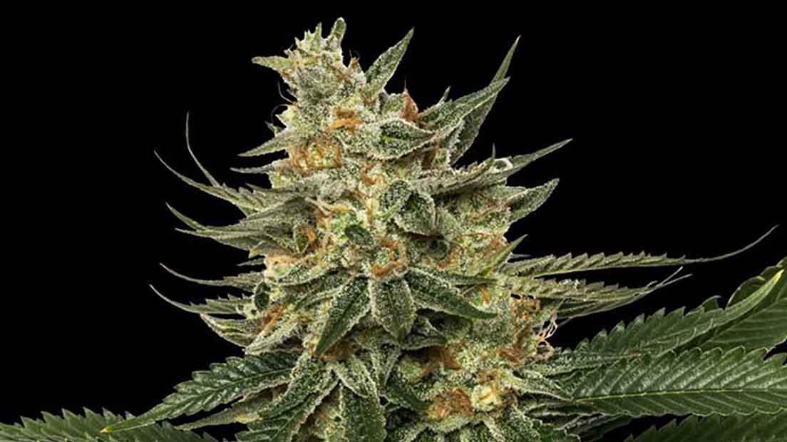 Tangie es una marihuana potente y sabor exquisito.